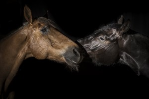 La_Dhuys_portraits_chevaux-37